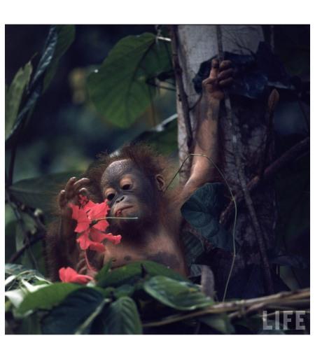 Baby orangutan in the jungles of North Borneo 1968 Photo Co Rentmeester