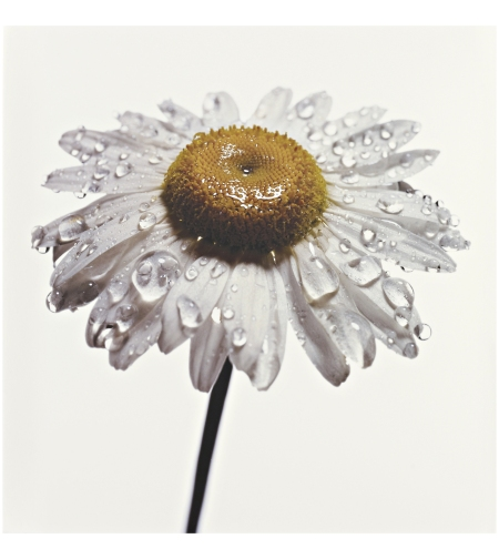 Daisy with Water Drops, New York, 1968-69