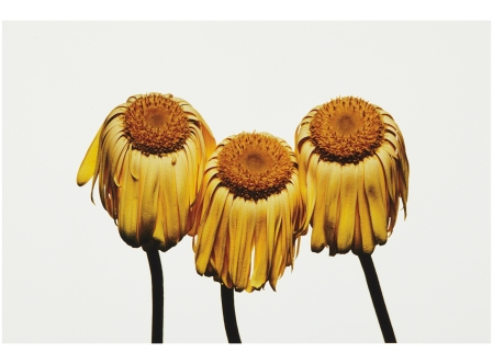 Gerbera Daisy, Gerbera jamesonii 'Husky', New York, 2006 Photo Irving Penn