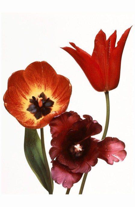 Irving Penn~Three Tulips- Red Shine, Black Parrot, Gudoshnik, New York, 1967