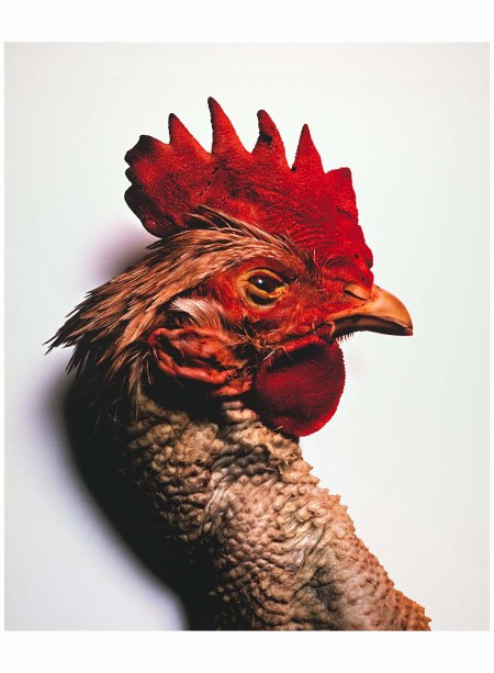 Red Rooster, New York 2003 Photo irving Penn