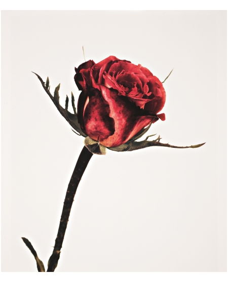 Rose, Colour Wonder, London, 1970 Still Life Photo Irving Penn
