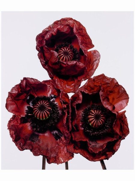 Three Poppies 'Arab Chief', New York, 1969 Irving Penn