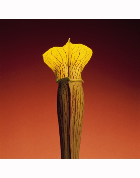 Jack in the Pulpit, 1988