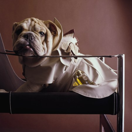 English bulldog wearing a beige poplin raincoat with acorn leather buttons and epaulettes and a bottle of Calèche by Hermès Flower Woods and Cyprye in Vogue, 1964 © Fotiades:Co